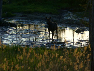 cow moose in pond at sunset